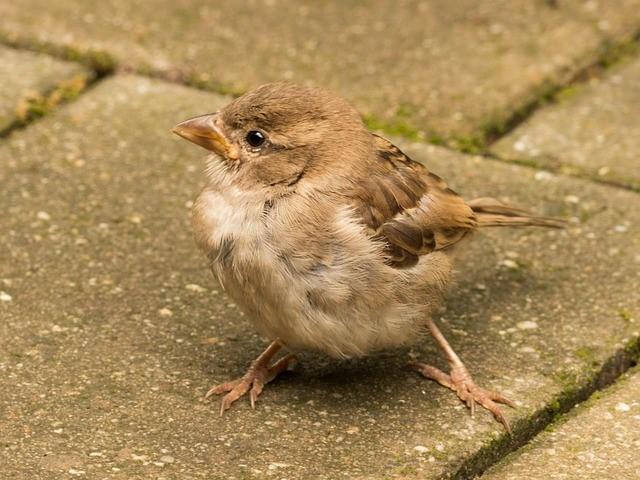 sparrow-1617709_640
